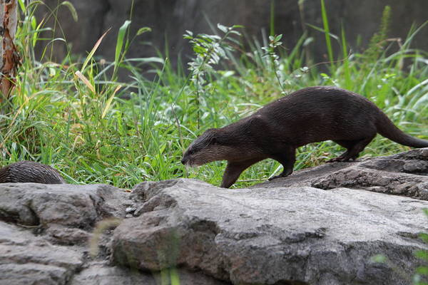 National Art Print featuring the photograph Asian Small Clawed Otter - National Zoo - 01135 by DC Photographer