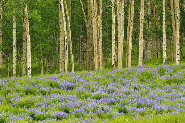 Aspen Art Print featuring the photograph Aspen And Lupine by Joseph Rossbach