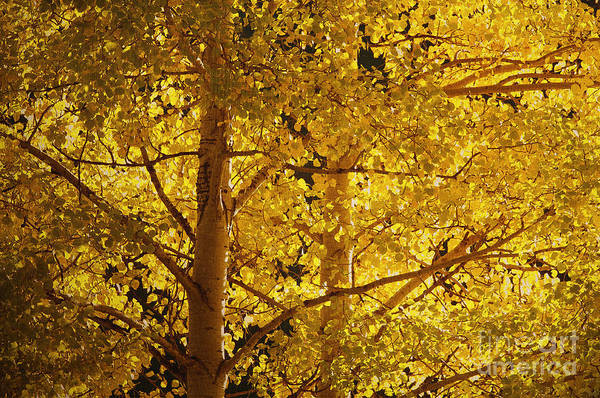 Aspen Trees Art Print featuring the photograph Aspen Leaves Textured by Sharon Talson