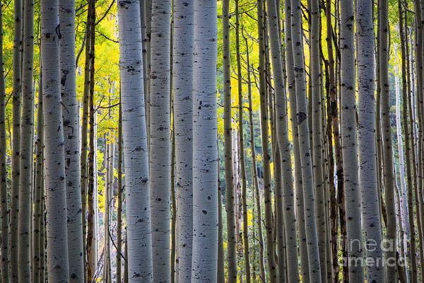 America Art Print featuring the photograph Aspen Trunks by Inge Johnsson