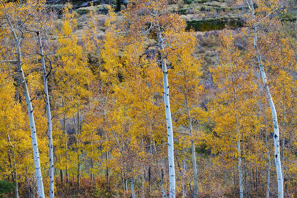 Aspen Art Print featuring the photograph Autumn Aspens by James BO Insogna