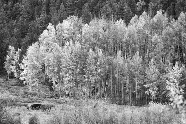 Horses Art Print featuring the photograph Autumn Grazing Horses Bonanza Bw by James BO Insogna