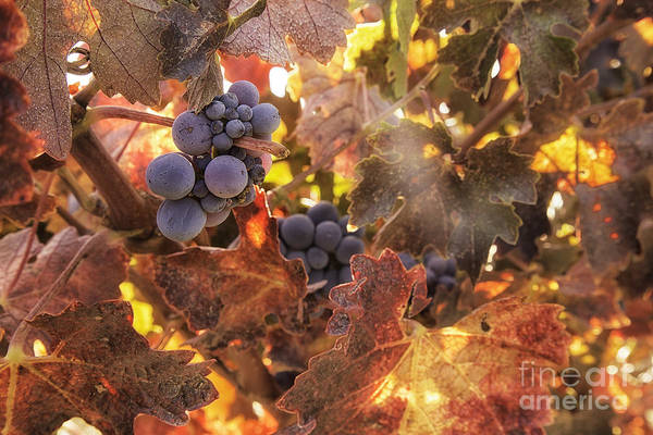 Michele Print featuring the photograph Autumn In The Vineyard by Michele Steffey