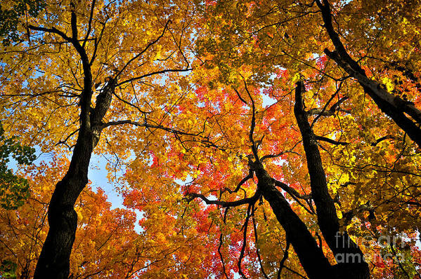 Autumn Art Print featuring the photograph Autumn Maple Trees by Elena Elisseeva