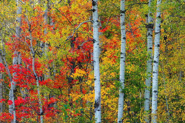 autumn Palette hawk Ridge lester Park lake Superior duluth minnesota fall Color Birch seven Bridges Rd Trees Nature greeting Cards mary Amerman Art Print featuring the photograph Autumn Palette by Mary Amerman