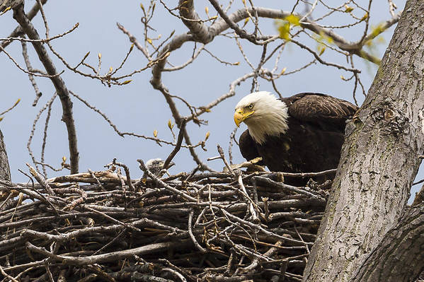 Adult Art Print featuring the photograph Bald Eagle And Eaglet by Jack R Perry