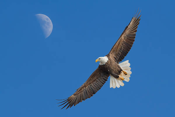 Bald Eagle Art Print featuring the photograph Bald Eagle Soaring With The Moon by Martin Belan