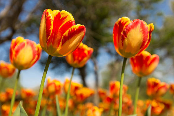 Tulip Art Print featuring the photograph Banja Luka From Below by Thomas Parsons