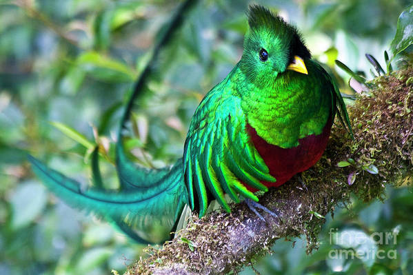 Bird Art Print featuring the photograph Beautiful Quetzal 4 by Heiko Koehrer-Wagner