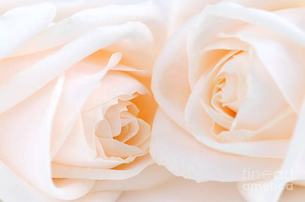 Rose Art Print featuring the photograph Beige Roses by Elena Elisseeva