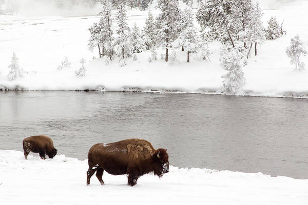 Snow Art Print featuring the photograph Bison In The Winter At Yellowstone by Dennis Walton