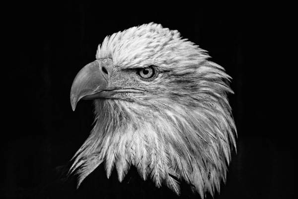 Black And White Eagle Art Print featuring the photograph Black And White Eagle by Wes and Dotty Weber