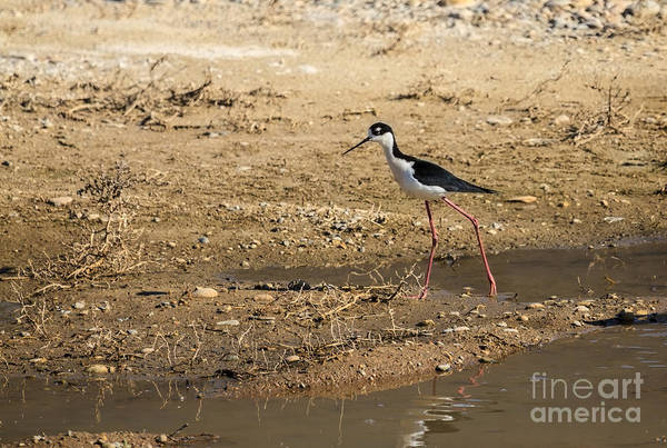 Bird Art Print featuring the photograph Black-necked Stilt by Robert Bales