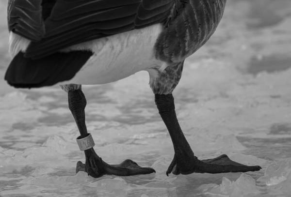 Canadian Goose Art Print featuring the photograph Bling by Thomas Young