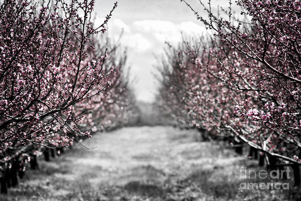 Peach Art Print featuring the photograph Blooming Peach Orchard by Elena Elisseeva