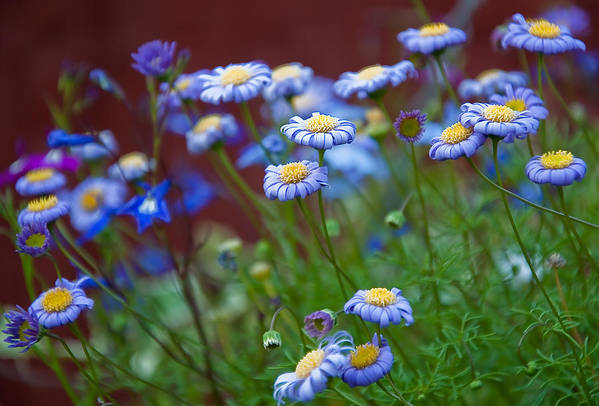 Blue Art Print featuring the photograph Blue Flowers by Nataliya Pergaeva
