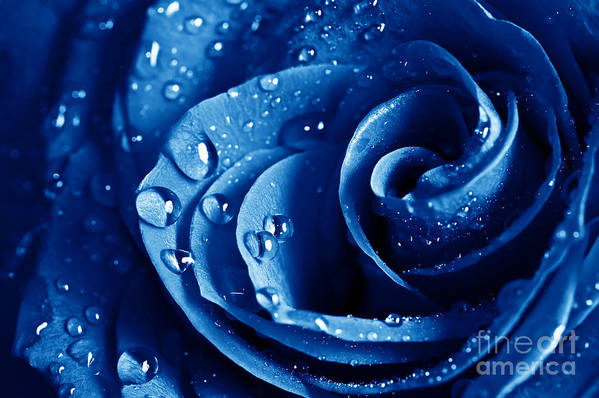 Blue Roses Print featuring the photograph Blue Roses by Boon Mee