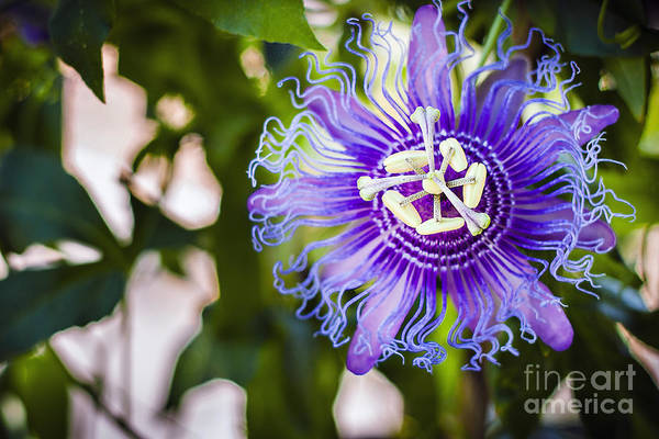 Violet Art Print featuring the photograph Blue Violet by Lacie Oakey