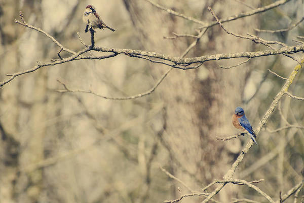 Eastern Print featuring the photograph Bluebird And Sparrow by Heather Applegate