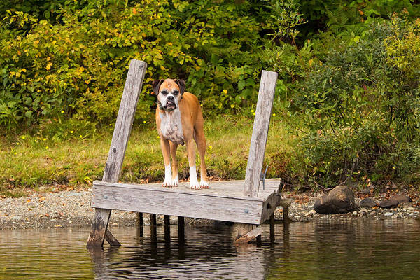Boxer Art Print featuring the photograph Boxer On Lake Dock by Stephanie McDowell
