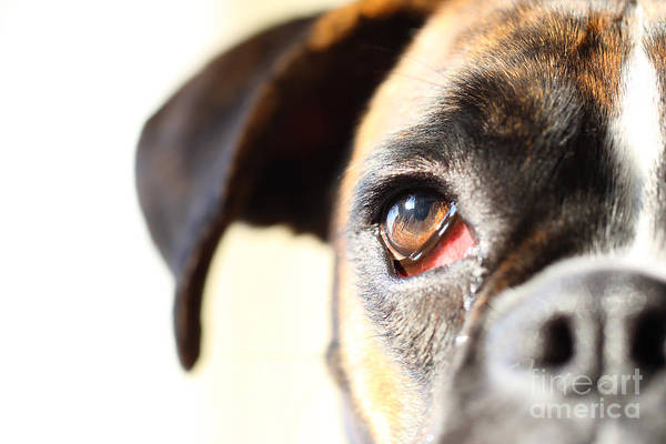Boxer Art Print featuring the photograph Boxer's Eye by Jana Behr