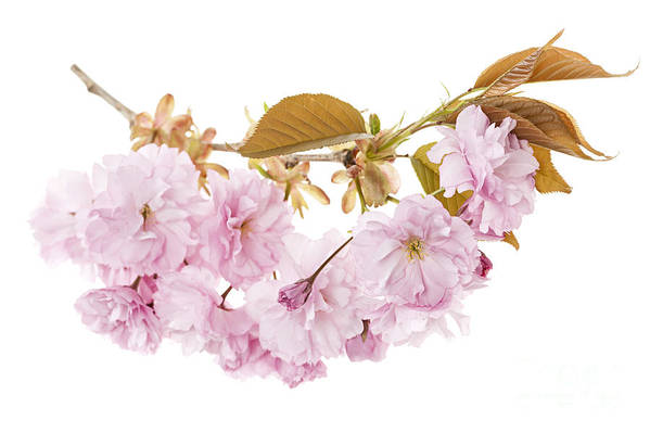 Cherry Art Print featuring the photograph Branch With Cherry Blossoms by Elena Elisseeva