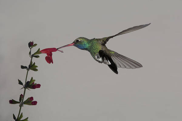 Arizona Art Print featuring the photograph Broadbill And Salvia by Gregory Scott