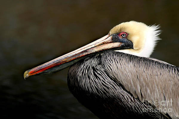 Pelican Art Print featuring the photograph Brown Pelican Portrait by Joan McCool