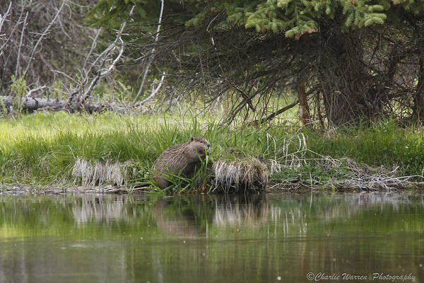 Grand Tetons Print featuring the photograph Busy Beaver by Charles Warren