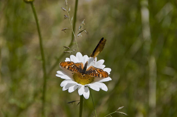 Variegated Fritillary Art Print featuring the photograph Butterflies And Daisy In A Yosemite Meadow by Scott Lenhart