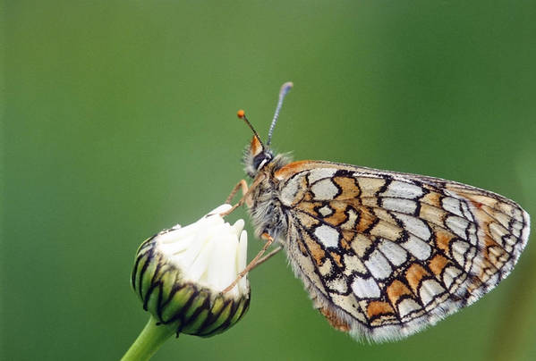 Nymphalidae Art Print featuring the photograph Butterfly And White Flower by Patrick Kessler