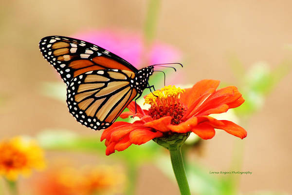 Butterfly Art Print featuring the digital art Butterfly Lunch by Lorna Rogers Photography