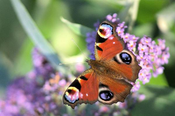 Butterfly Art Print featuring the photograph Butterfly On Buddleia by Gordon Auld