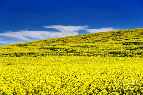 Canola Art Print featuring the photograph Canola Field by Naphat Chantaravisoot
