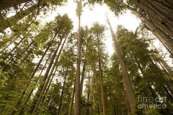 Provincial Park Bc Art Print featuring the photograph Cathedral Forest by Artist and Photographer Laura Wrede