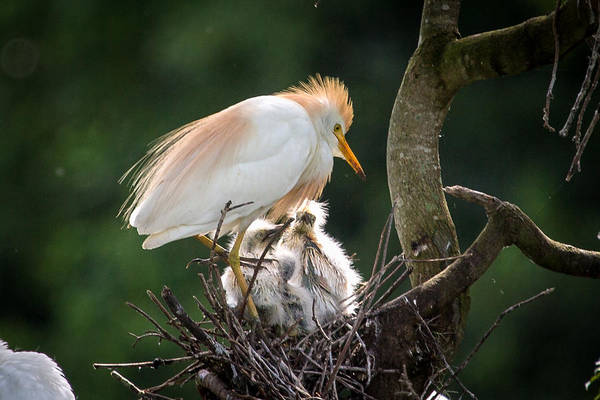 Egret Art Print featuring the photograph Cattle Egret Tending Her Nest by Gregory Daley MPSA