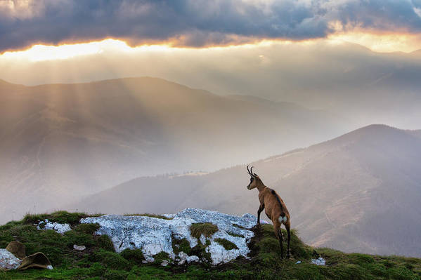 Nature Art Print featuring the photograph Chamois In Piatra Craiului Romania by Dan Mirica