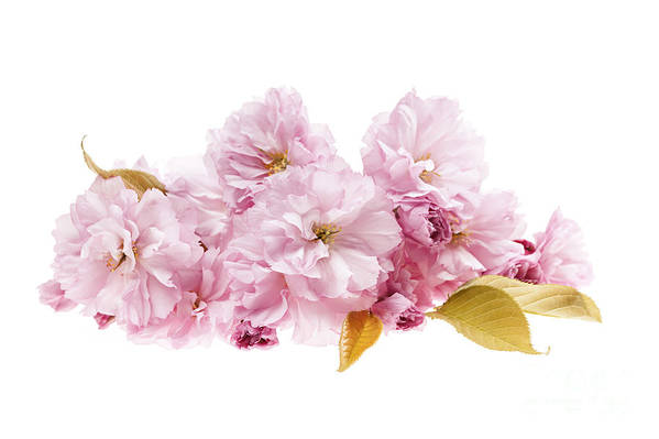 Cherry Print featuring the photograph Cherry Blossoms Arrangement by Elena Elisseeva
