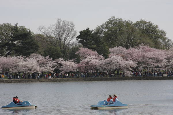 Cherry Print featuring the photograph Cherry Blossoms - Washington Dc - 011315 by DC Photographer