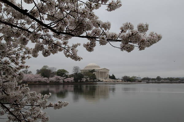 America Art Print featuring the photograph Cherry Blossoms With Jefferson Memorial - Washington Dc - 011343 by DC Photographer