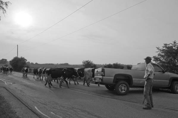 Cows Art Print featuring the photograph Chores 14 by Mike Tanner