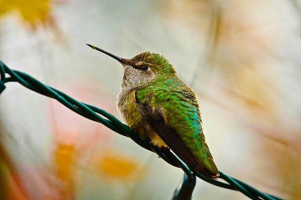 Humming Bird Art Print featuring the photograph Christmas Humming Bird by Steve McKinzie