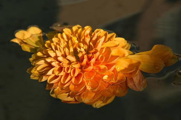 Georgia Mizuleva Art Print featuring the photograph Chrysanthemum Gently Floating In The Fountain Of Campo De Fiori - Rome - Italy by Georgia Mizuleva