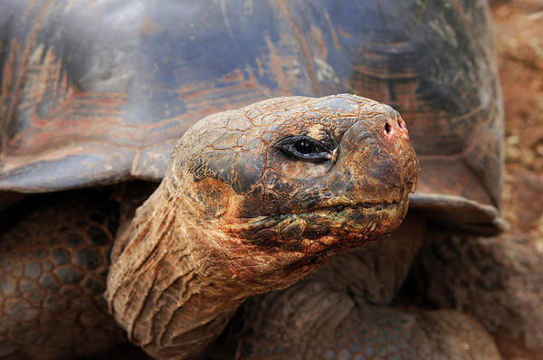 Adult Art Print featuring the photograph Close Up Of A Galapagos Tortoise, Giant by Miva Stock