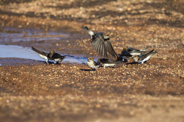 Swallows Art Print featuring the photograph Collecting Mud by Douglas Barnard