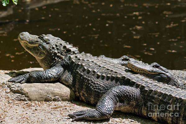 Alligator Art Print featuring the photograph Comfy Cozy by Lois Bryan