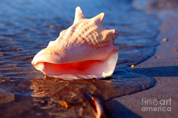 Shell Art Print featuring the photograph Conch Shell by Lynne Sutherland