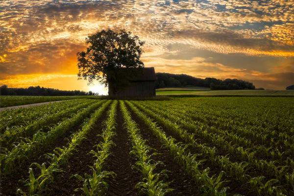 Appalachia Art Print featuring the photograph Corn Rows by Debra and Dave Vanderlaan