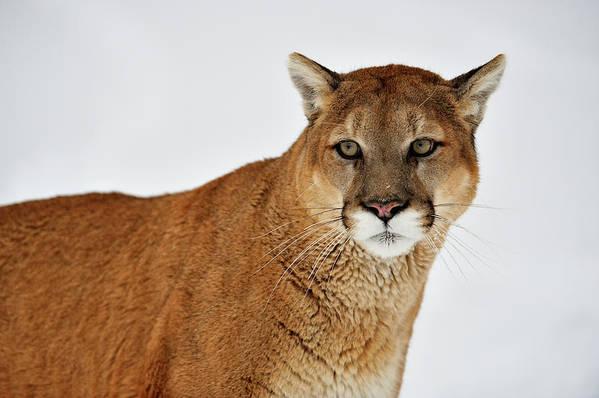 puma lion