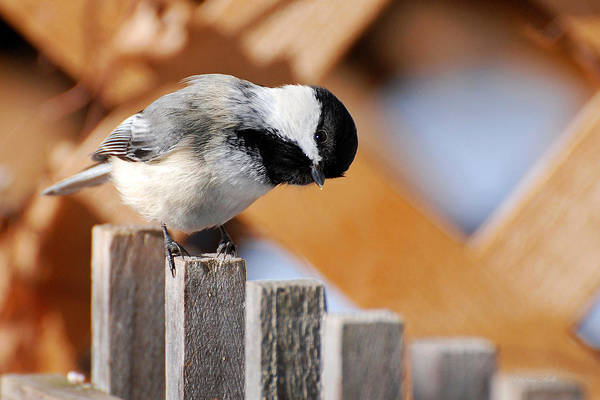 Bird Art Print featuring the photograph Curious Chickadee by Christina Rollo